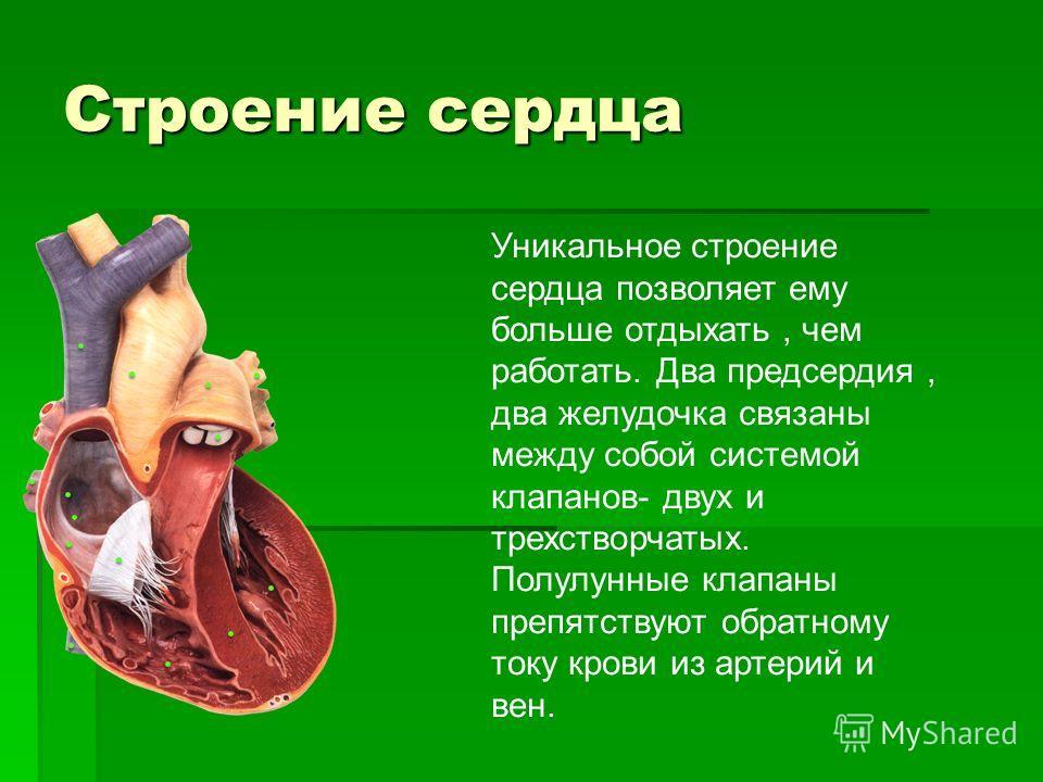 Строение сердца Уникальное строение сердца позволяет ему больше отдыхать, чем работать. Два предсердия, два желудочка связаны между собой системой клапанов- двух и трехстворчатых. Полулунные клапаны препятствуют обратному току крови из артерий и вен.