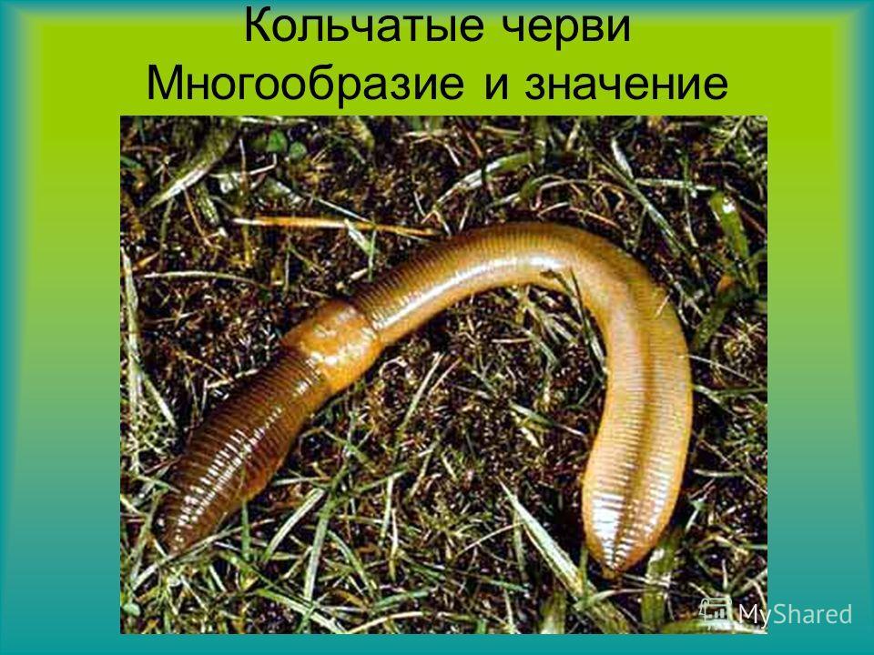 Кольчатые черви Многообразие и значение