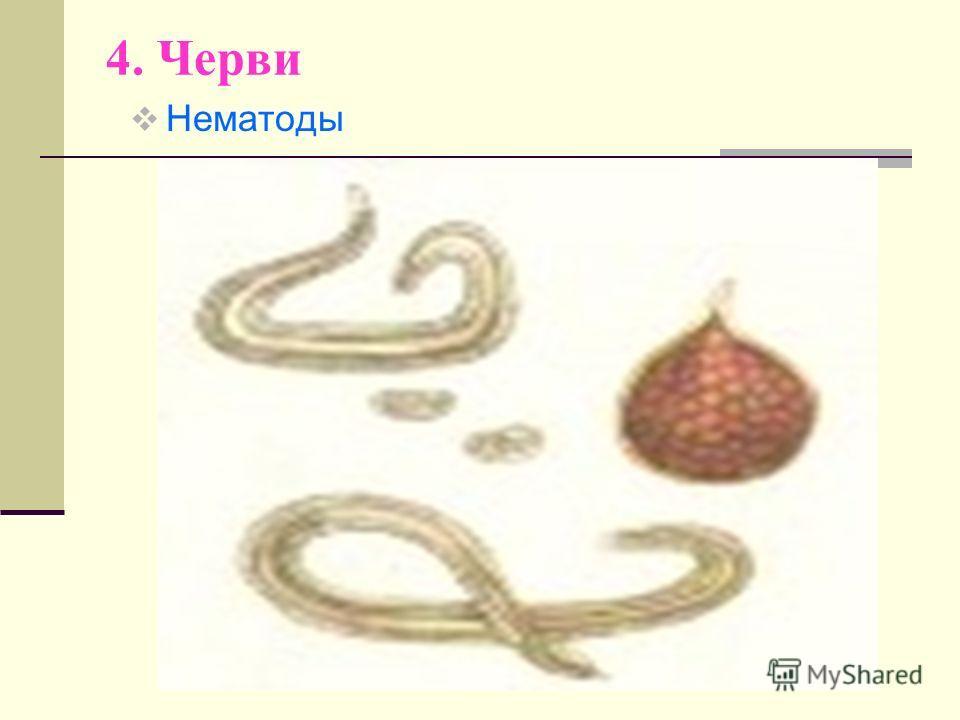 4. Черви Нематоды