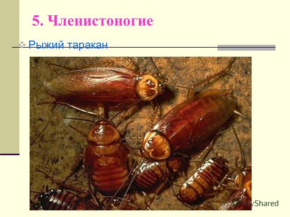 5. Членистоногие Рыжий таракан