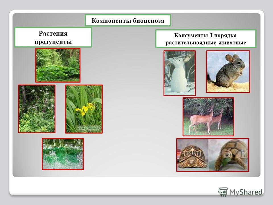 Компоненты биоценоза Растения продуценты Консументы I порядка растительноядные животные
