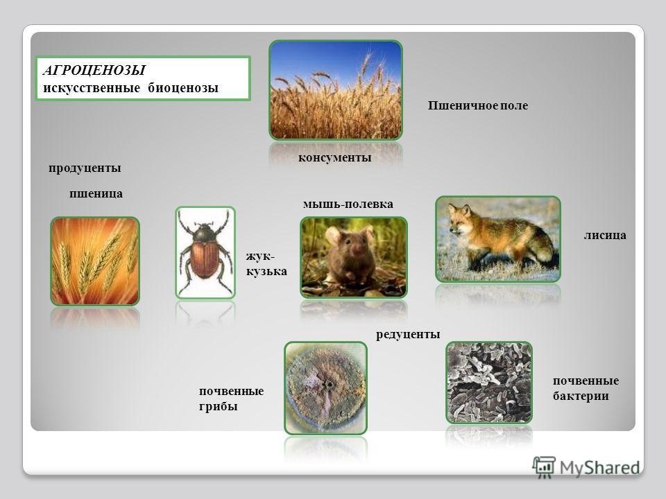 АГРОЦЕНОЗЫ искусственные биоценозы жук- кузька лисица мышь-полевка консументы Пшеничное поле продуценты редуценты почвенные грибы почвенные бактерии пшеница