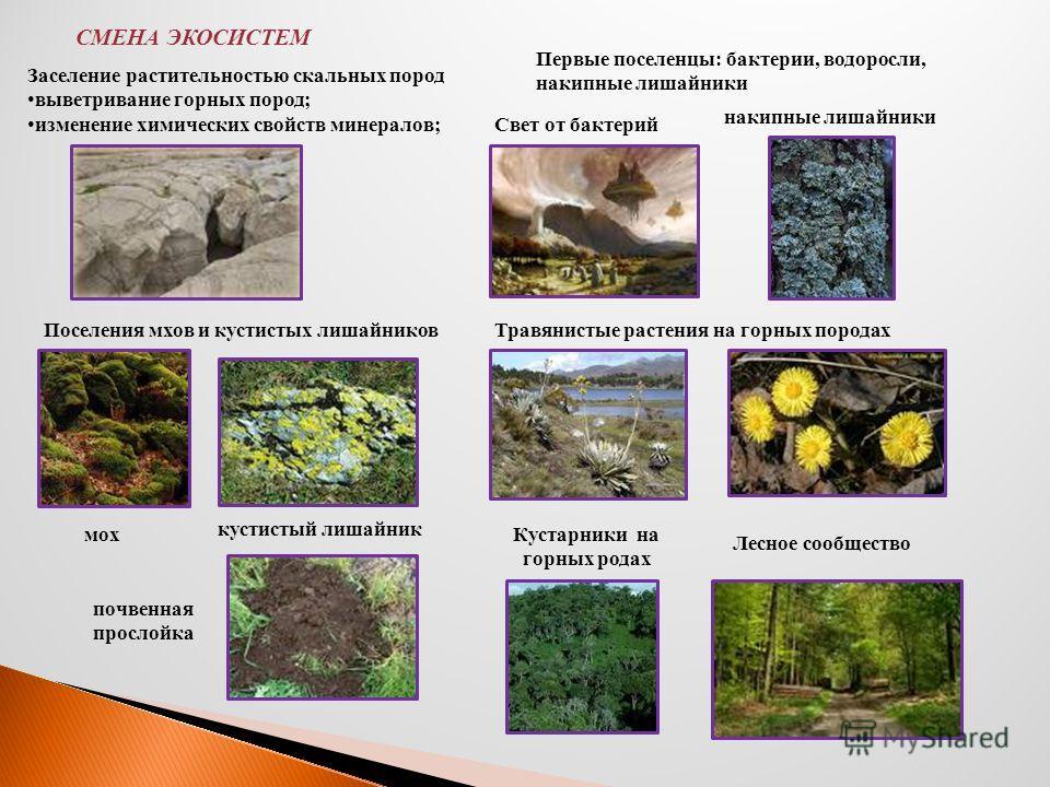 СМЕНА ЭКОСИСТЕМ Заселение растительностью скальных пород выветривание горных пород; изменение химических свойств минералов; Первые поселенцы: бактерии, водоросли, накипные лишайники Свет от бактерий накипные лишайники Поселения мхов и кустистых лишай
