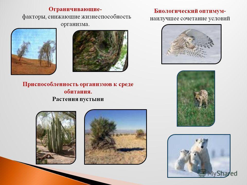 Ограничивающие- факторы, снижающие жизнеспособность организма. Биологический оптимум- наилучшее сочетание условий Приспособленность организмов к среде обитания. Растения пустыни