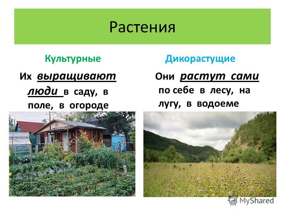 Растения Культурные Их выращивают люди в саду, в поле, в огороде Дикорастущие Они растут сами по себе в лесу, на лугу, в водоеме