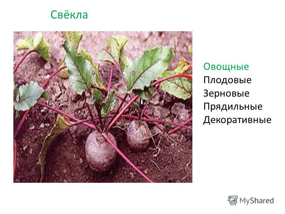 Свёкла Овощные Плодовые Зерновые Прядильные Декоративные