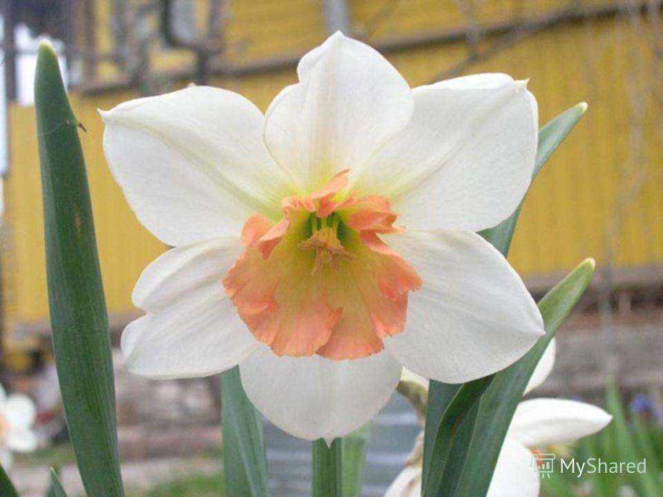 . Садовое растение с приятным запахом.