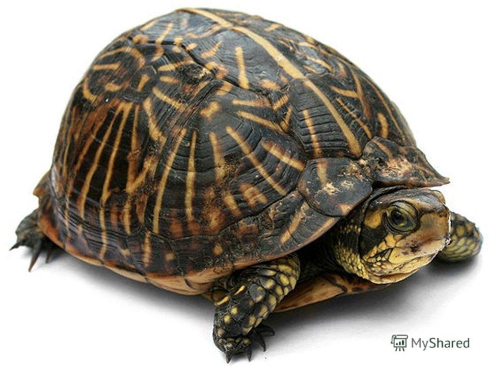 Черепаху защищает крепкий…