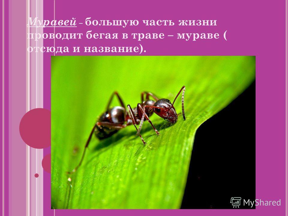 Муравей – большую часть жизни проводит бегая в траве – мураве ( отсюда и название).