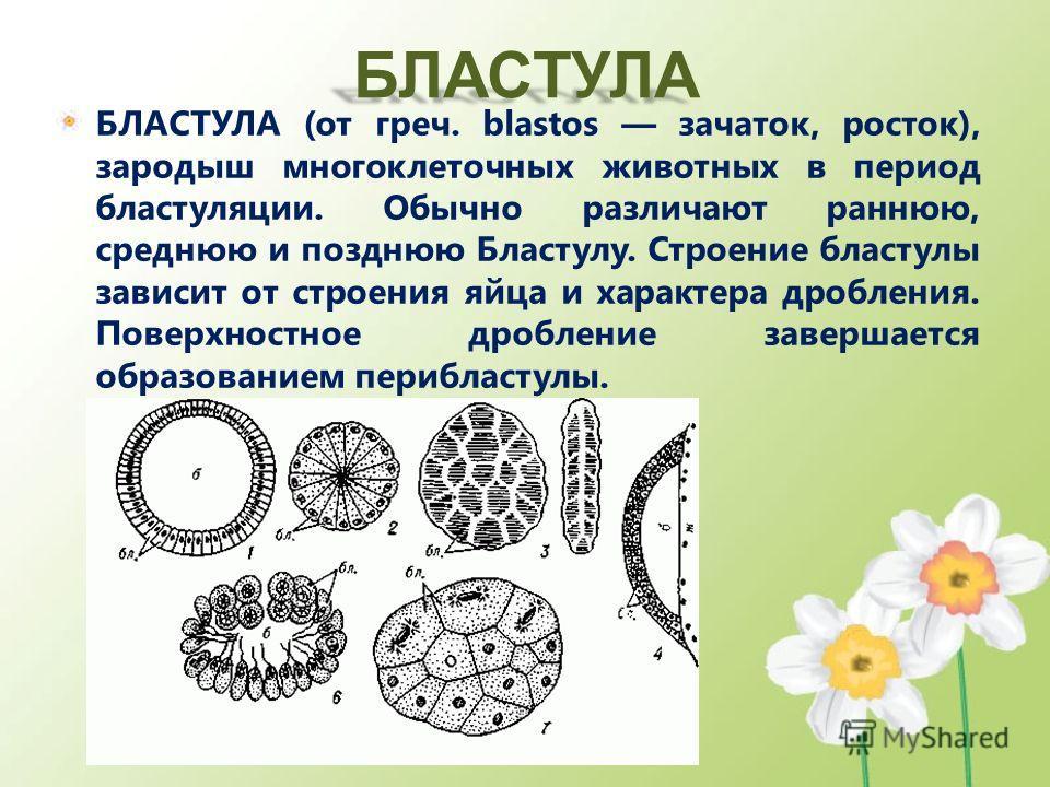 БЛАСТУЛА БЛАСТУЛА (от греч. blastos зачаток, росток), зародыш многоклеточных животных в период бластуляции. Обычно различают раннюю, среднюю и позднюю Бластулу. Строение бластулы зависит от строения яйца и характера дробления. Поверхностное дробление