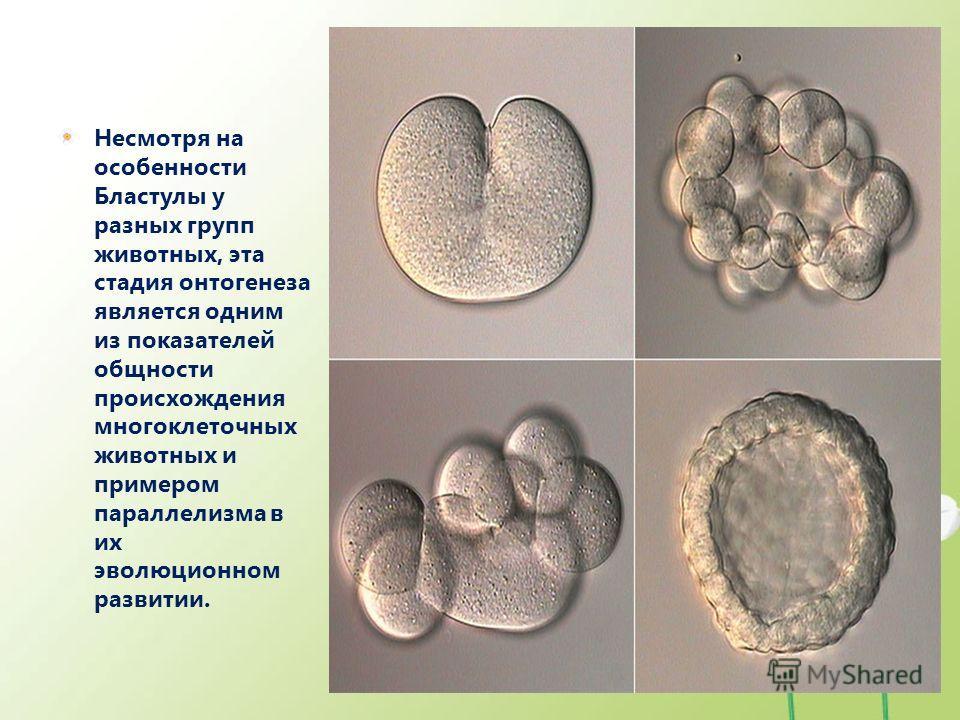 Несмотря на особенности Бластулы у разных групп животных, эта стадия онтогенеза является одним из показателей общности происхождения многоклеточных животных и примером параллелизма в их эволюционном развитии.