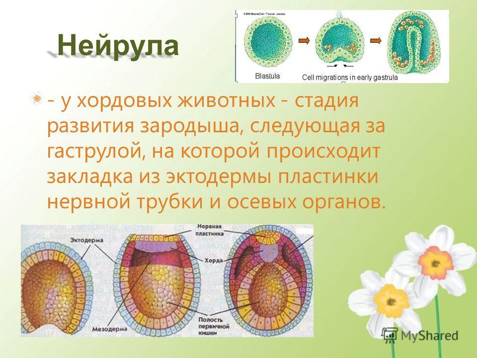 Нейрула - у хордовых животных - стадия развития зародыша, следующая за гаструлой, на которой происходит закладка из эктодермы пластинки нервной трубки и осевых органов.