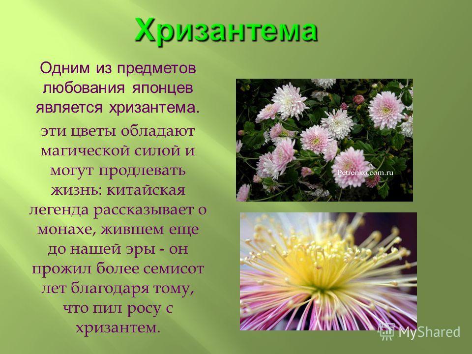 Хризантема Одним из предметов любования японцев является хризантема. эти цветы обладают магической силой и могут продлевать жизнь: китайская легенда рассказывает о монахе, жившем еще до нашей эры - он прожил более семисот лет благодаря тому, что пил