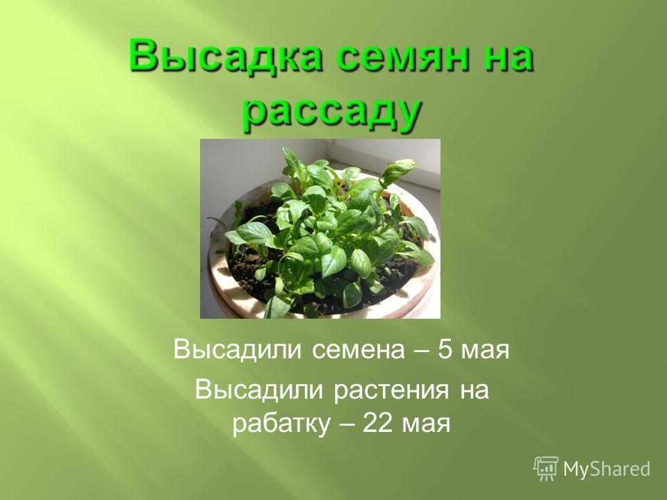 Высадили семена – 5 мая Высадили растения на рабатку – 22 мая