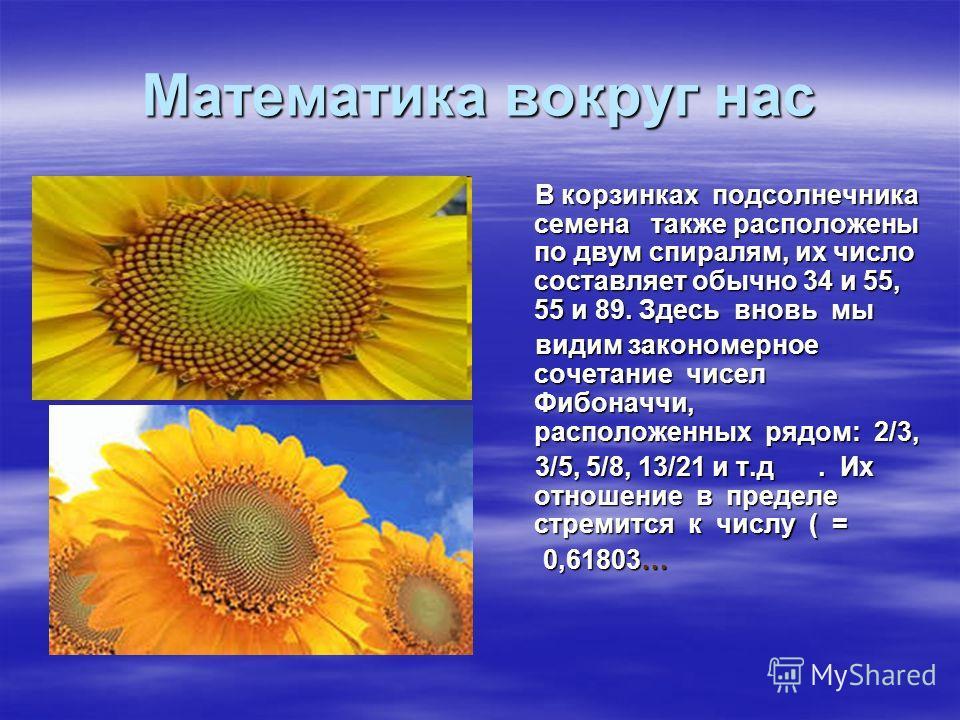 Математика вокруг нас В корзинках подсолнечника семена также расположены по двум спиралям, их число составляет обычно 34 и 55, 55 и 89. Здесь вновь мы В корзинках подсолнечника семена также расположены по двум спиралям, их число составляет обычно 34