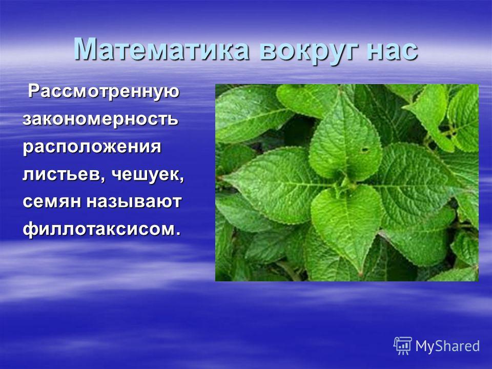 Математика вокруг нас Рассмотренную Рассмотреннуюзакономерностьрасположения листьев, чешуек, семян называют филлотаксисом.
