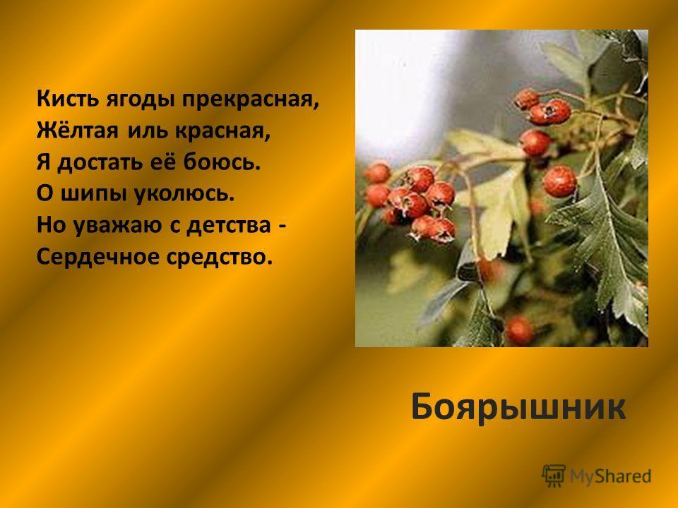 Кисть ягоды прекрасная, Жёлтая иль красная, Я достать её боюсь. О шипы уколюсь. Но уважаю с детства - Сердечное средство. Боярышник