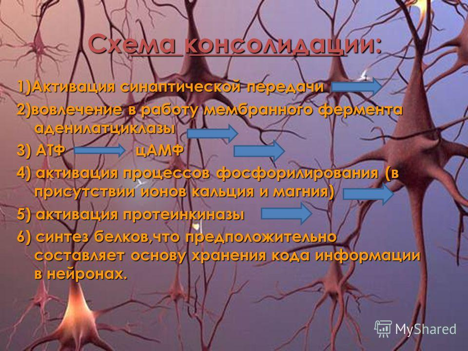 ____ ____________ ____ ____________ Схема консолидации: 1)Активация синаптической передачи 2)вовлечение в работу мембранного фермента аденилатциклазы 3) АТФ цАМФ 4) активация процессов фосфорилирования (в присутствии ионов кальция и магния) 5) актива