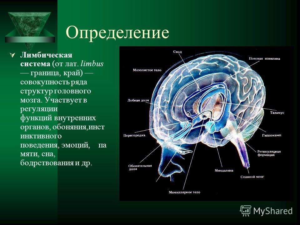Определение Лимбическая система (от лат. limbus граница, край) совокупность ряда структур головного мозга. Участвует в регуляции функций внутренних органов, обоняния,инст инктивного поведения, эмоций, па мяти, сна, бодрствования и др.