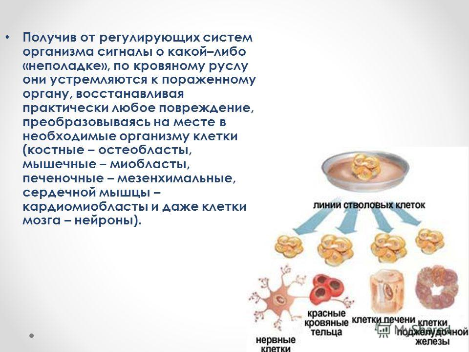 Получив от регулирующих систем организма сигналы о какой–либо «неполадке», по кровяному руслу они устремляются к пораженному органу, восстанавливая практически любое повреждение, преобразовываясь на месте в необходимые организму клетки (костные – ост