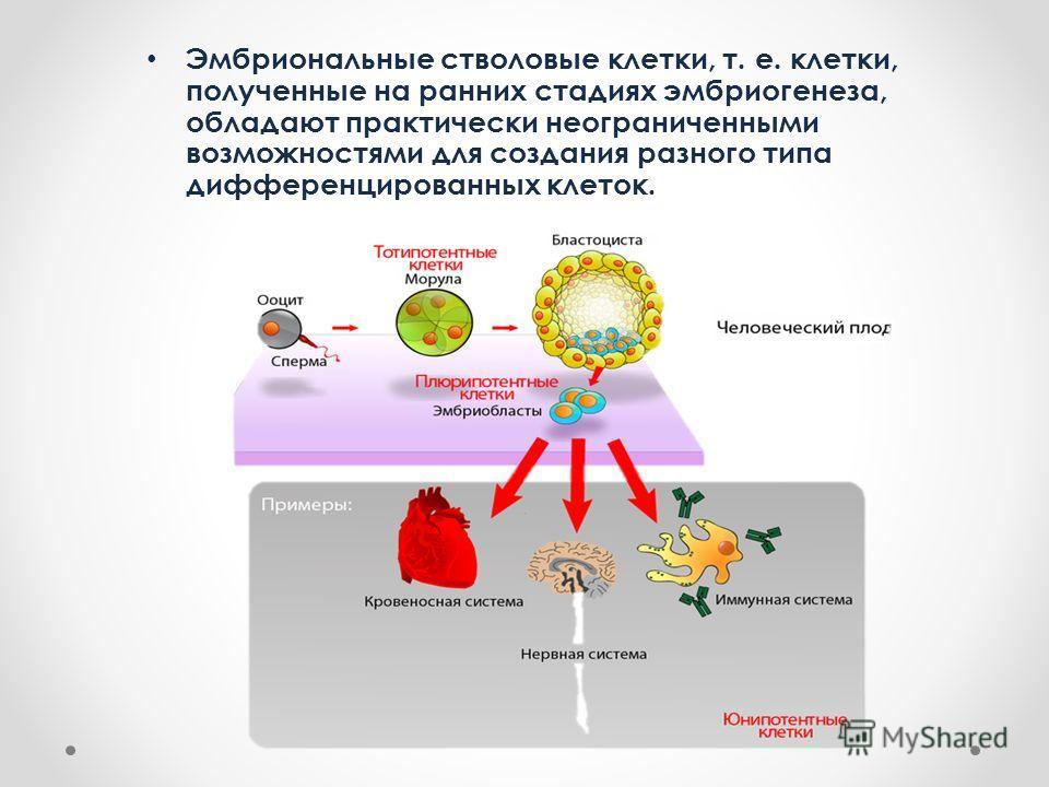 Эмбриональные стволовые клетки, т. е. клетки, полученные на ранних стадиях эмбриогенеза, обладают практически неограниченными возможностями для создания разного типа дифференцированных клеток.
