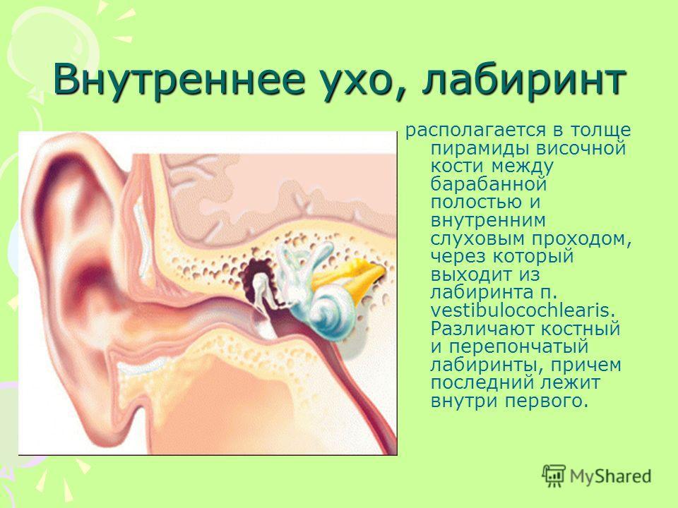 Внутреннее ухо, лабиринт располагается в толще пирамиды височной кости между барабанной полостью и внутренним слуховым проходом, через который выходит из лабиринта п. vestibulocochlearis. Различают костный и перепончатый лабиринты, причем последний л