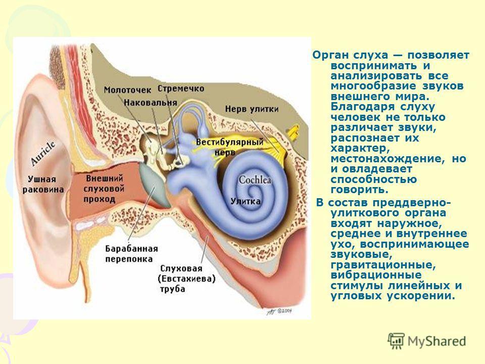 Орган слуха позволяет воспринимать и анализировать все многообразие звуков внешнего мира. Благодаря слуху человек не только различает звуки, распознает их характер, местонахождение, но и овладевает способностью говорить. В состав преддверно- улитково