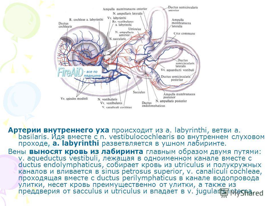 Артерии внутреннего уха происходит из a. labyrinthi, ветви a. basilaris. Идя вместе с n. vestibulocochlearis во внутреннем слуховом проходе, a. labyrinthi разветвляется в ушном лабиринте. Вены выносят кровь из лабиринта главным образом двумя путями: