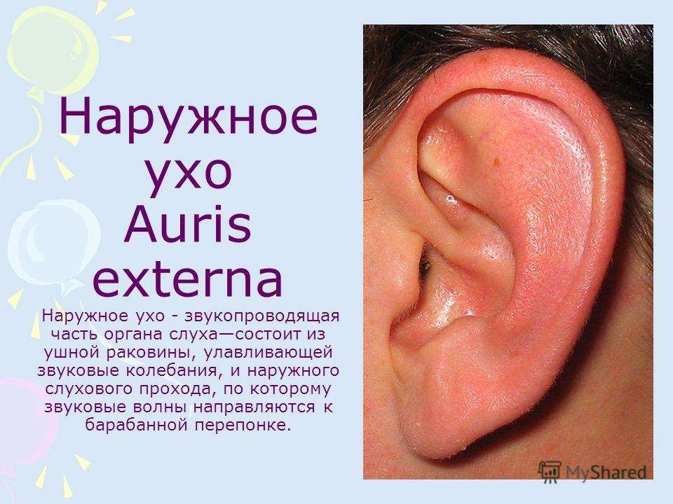 Наружное ухо Auris externa Наружное ухо - звукопроводящая часть органа слухасостоит из ушной раковины, улавливающей звуковые колебания, и наружного слухового прохода, по которому звуковые волны направляются к барабанной перепонке.