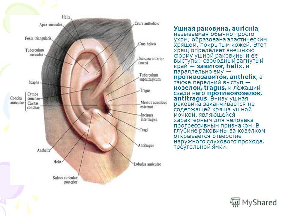 Ушная раковина, auricula, называемая обычно просто ухом, образована эластическим хрящом, покрытым кожей. Этот хрящ определяет внешнюю форму ушной раковины и ее выступы: свободный загнутый край завиток, helix, и параллельно ему противозавиток, antheli