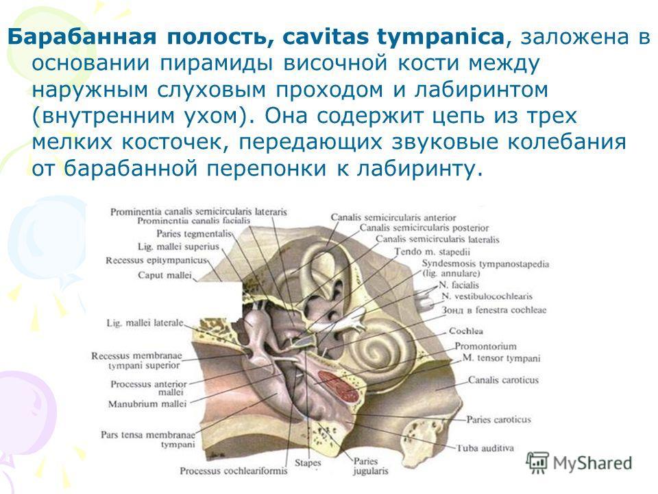 Барабанная полость, cavitas tympanica, заложена в основании пирамиды височной кости между наружным слуховым проходом и лабиринтом (внутренним ухом). Она содержит цепь из трех мелких косточек, передающих звуковые колебания от барабанной перепонки к ла