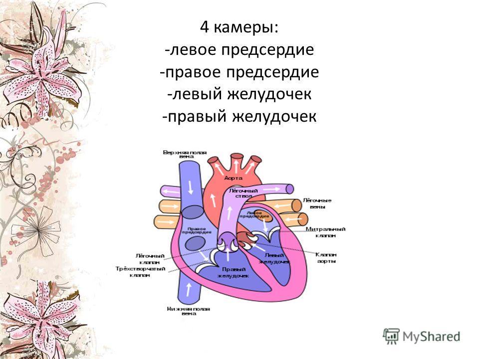 4 камеры: -левое предсердие -правое предсердие -левый желудочек -правый желудочек