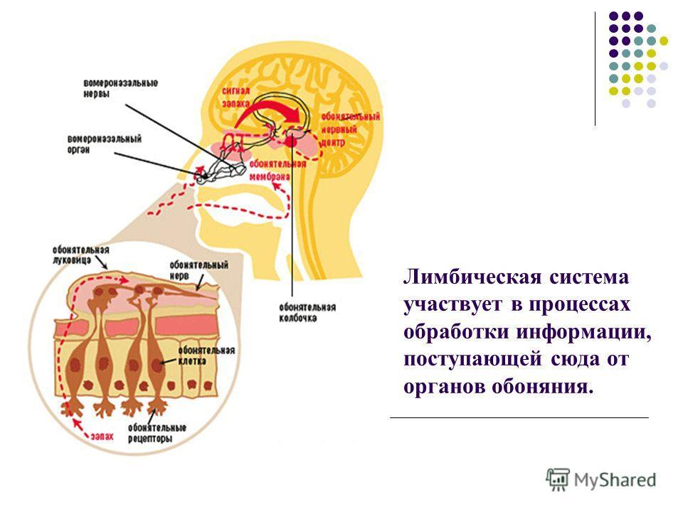 Лимбическая система участвует в процессах обработки информации, поступающей сюда от органов обоняния.