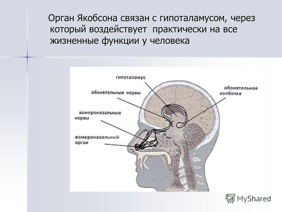 Орган Якобсона связан с гипоталамусом, через который воздействует практически на все жизненные функции у человека Орган Якобсона связан с гипоталамусом, через который воздействует практически на все жизненные функции у человека