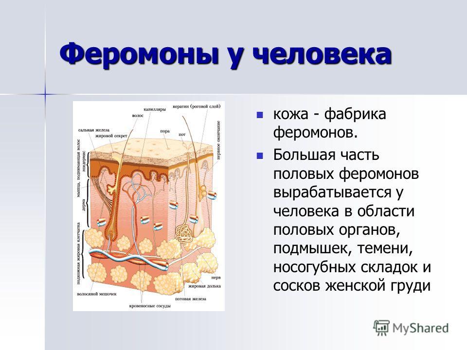Феромоны у человека кожа - фабрика феромонов. Большая часть половых феромонов вырабатывается у человека в области половых органов, подмышек, темени, носогубных складок и сосков женской груди