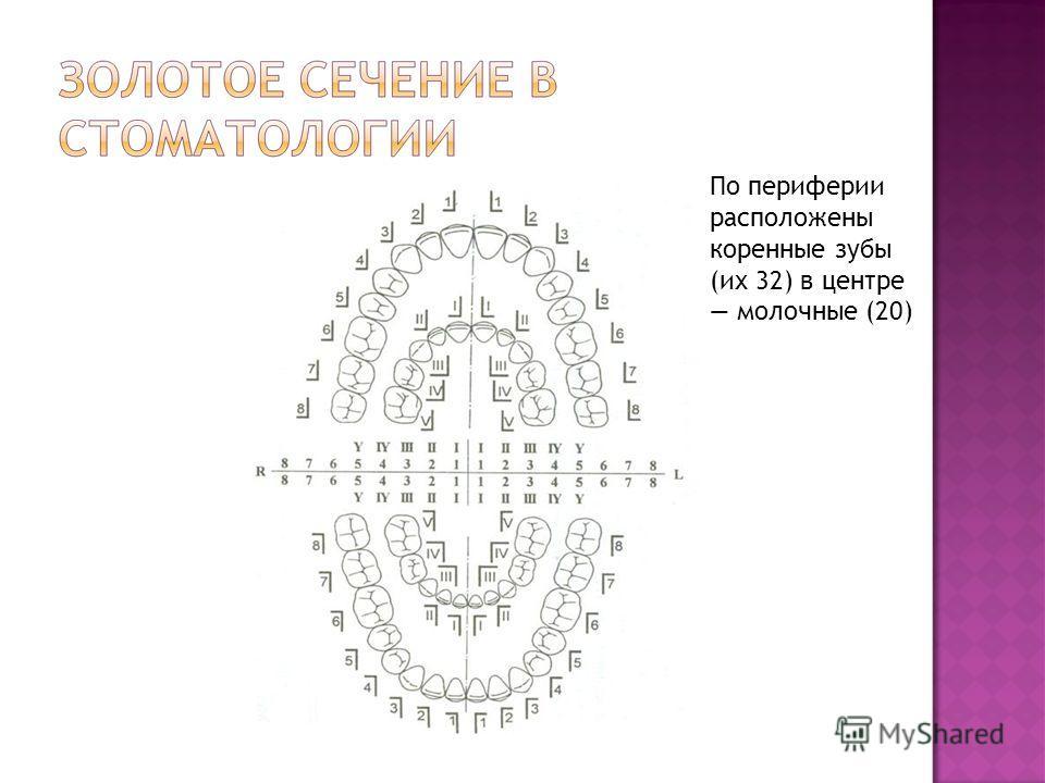 По периферии расположены коренные зубы (их 32) в центре молочные (20)