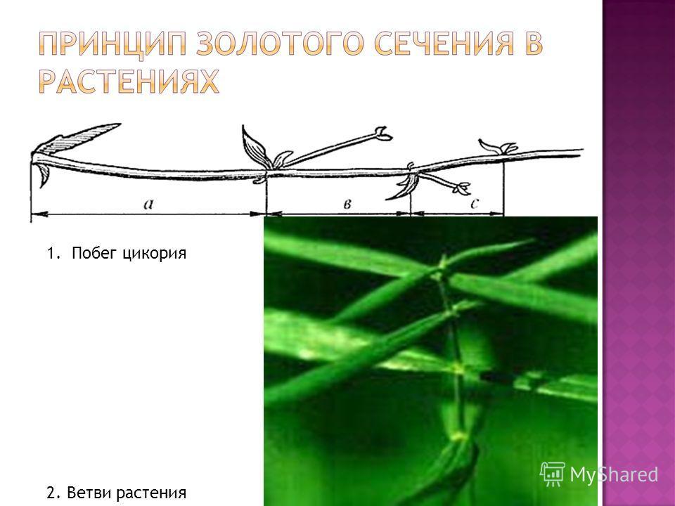 1.Побег цикория 2. Ветви растения