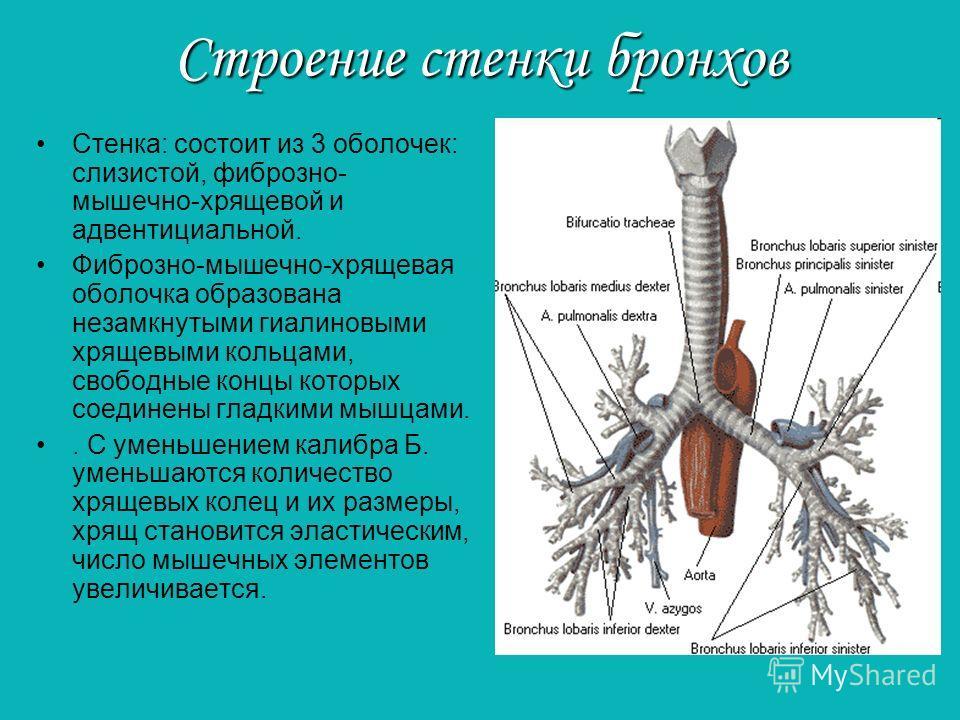 Строение стенки бронхов Стенка: состоит из 3 оболочек: слизистой, фиброзно- мышечно-хрящевой и адвентициальной. Фиброзно-мышечно-хрящевая оболочка образована незамкнутыми гиалиновыми хрящевыми кольцами, свободные концы которых соединены гладкими мышц