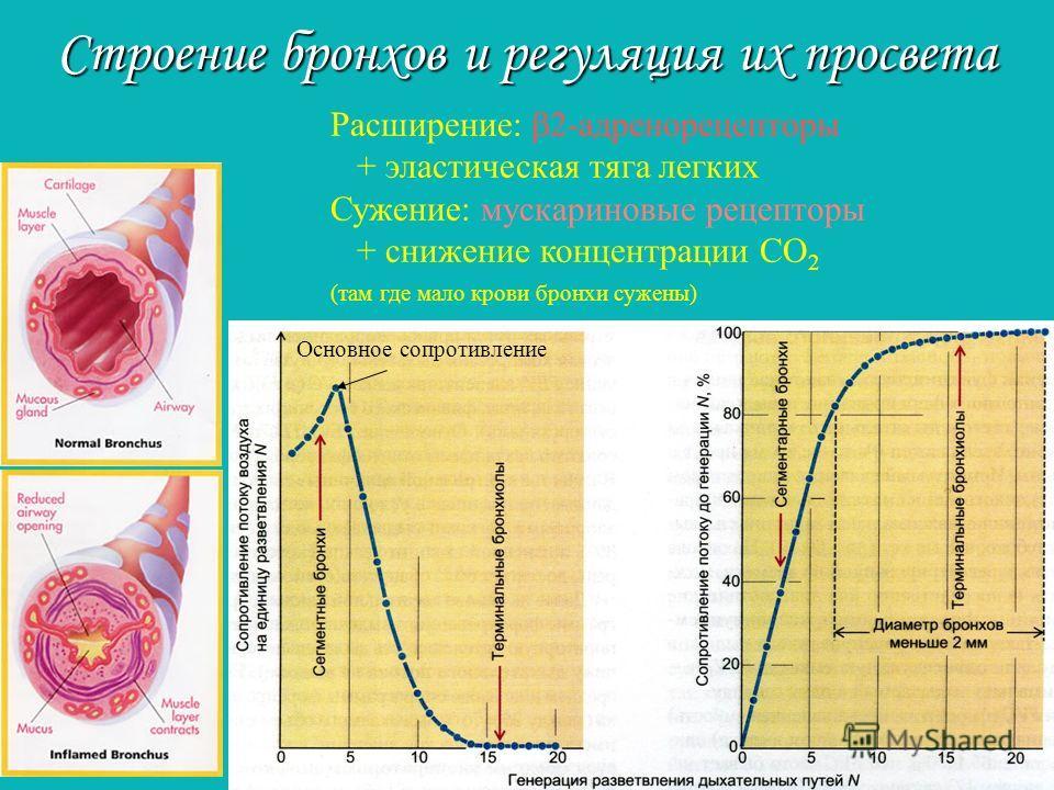 Расширение: 2-адренорецепторы + эластическая тяга легких Сужение: мускариновые рецепторы + снижение концентрации СО 2 (там где мало крови бронхи сужены) Строение бронхов и регуляция их просвета Основное сопротивление