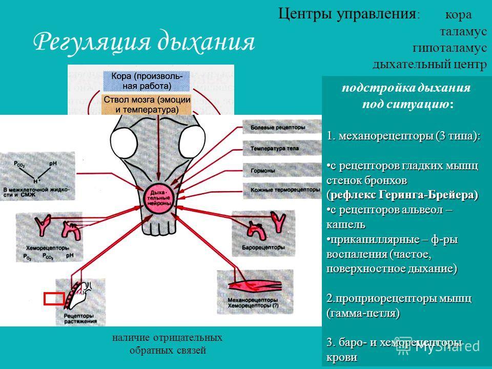 Регуляция дыхания Центры управления : кора таламус гипоталамус дыхательный центр подстройка дыхания под ситуацию: 1. механорецепторы (3 типа): с рецепторов гладких мышц стенок бронховс рецепторов гладких мышц стенок бронхов (рефлекс Геринга-Брейера)