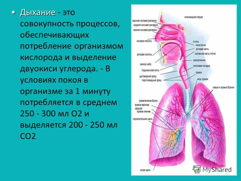 ДыханиеДыхание - это совокупность процессов, обеспечивающих потребление организмом кислорода и выделение двуокиси углерода. - В условиях покоя в организме за 1 минуту потребляется в среднем 250 - 300 мл О2 и выделяется 200 - 250 мл СО2