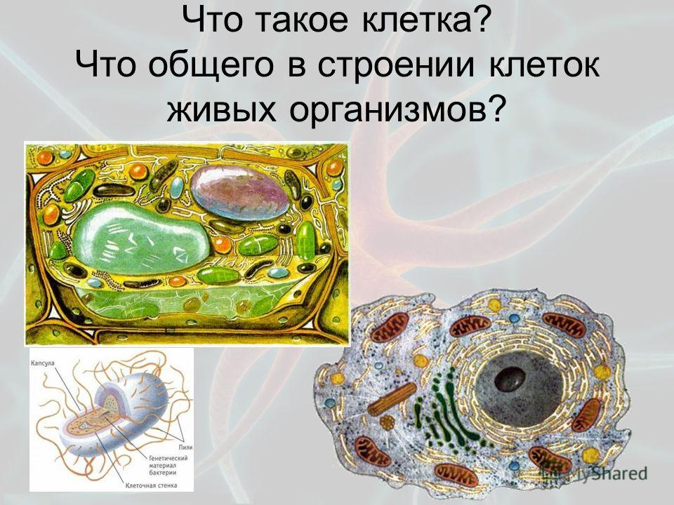 Что такое клетка? Что общего в строении клеток живых организмов?