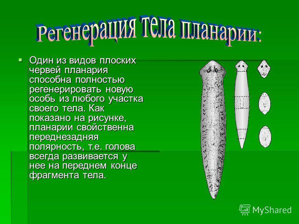 Один из видов плоских червей планария способна полностью регенерировать новую особь из любого участка своего тела. Как показано на рисунке, планарии свойственна переднезадняя полярность, т.е. голова всегда развивается у нее на переднем конце фрагмент