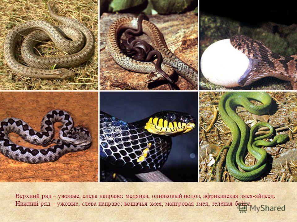 Верхний ряд – ужовые, слева направо: медянка, оливковый полоз, африканская змея-яйцеед. Нижний ряд – ужовые, слева направо: кошачья змея, мангровая змея, зелёная бойга.