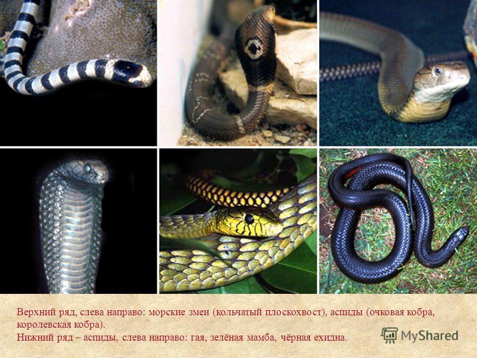 Верхний ряд, слева направо: морские змеи (кольчатый плоскохвост), аспиды (очковая кобра, королевская кобра). Нижний ряд – аспиды, слева направо: гая, зелёная мамба, чёрная ехидна.