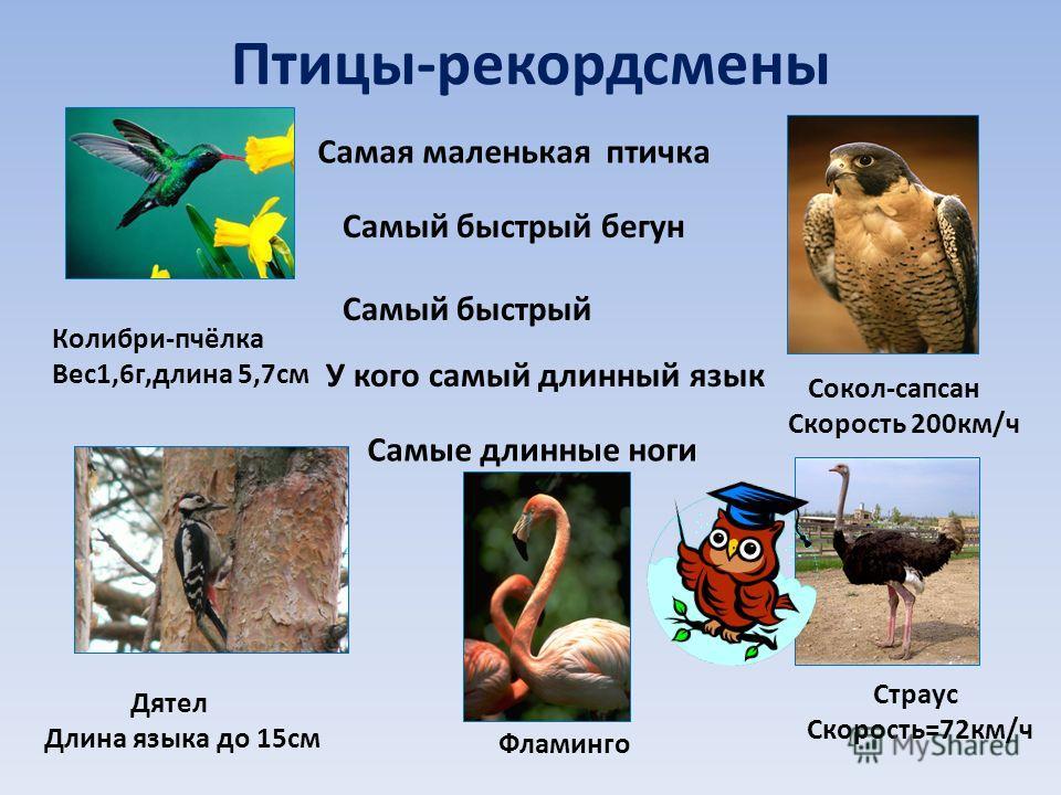 Птицы-рекордсмены Самая маленькая птичка Колибри-пчёлка Вес1,6г,длина 5,7см Самый быстрый бегун Страус Скорость=72км/ч Самый быстрый Сокол-сапсан Скорость 200км/ч У кого самый длинный язык Дятел Длина языка до 15см Самые длинные ноги Фламинго