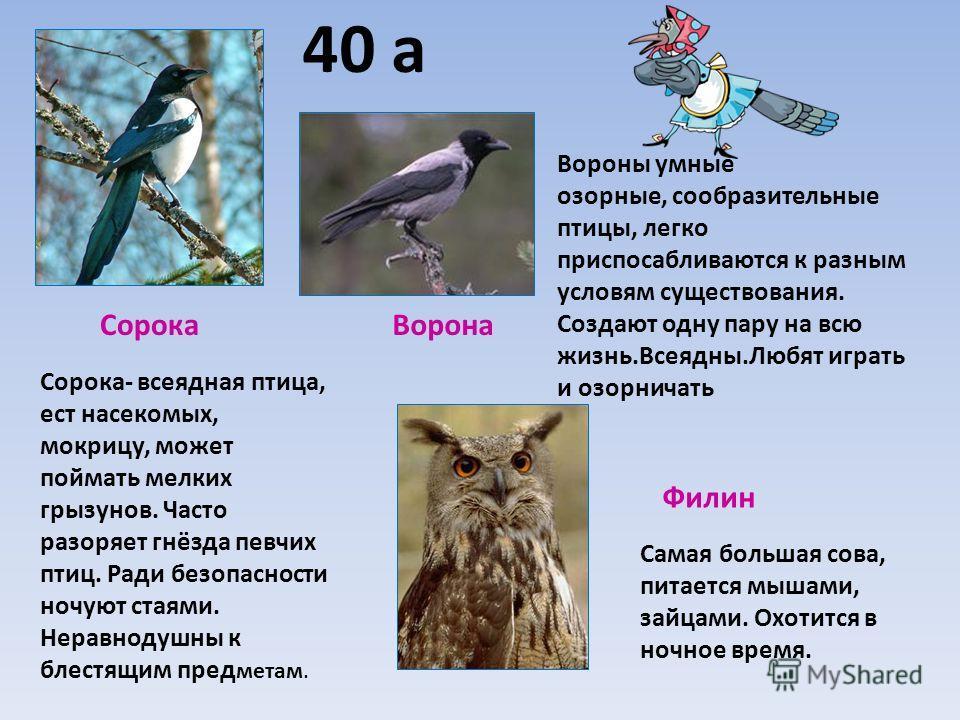 40 а СорокаВорона Филин Самая большая сова, питается мышами, зайцами. Охотится в ночное время. Сорока- всеядная птица, ест насекомых, мокрицу, может поймать мелких грызунов. Часто разоряет гнёзда певчих птиц. Ради безопасности ночуют стаями. Неравнод