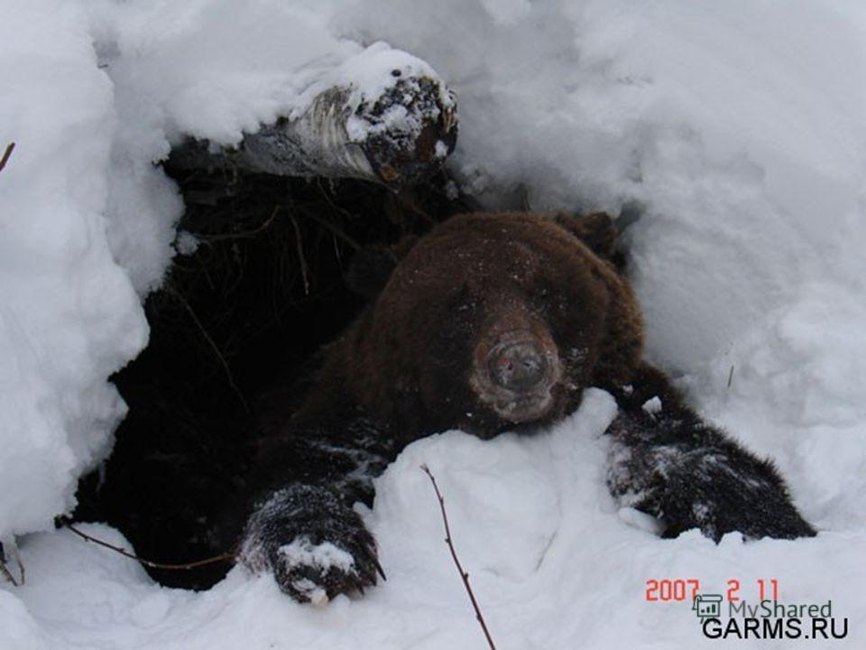 Кто зимой, забыв тревоги, Крепко спит в своей берлоге?
