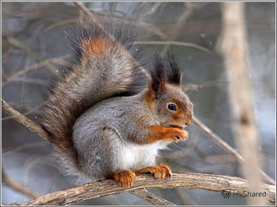 Кто по елкам ловко скачет и влетает на дубы? Кто в дупле орехи прячет, сушит на зиму грибы?