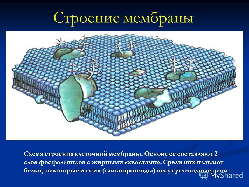 Строение мембраны Схема строения клеточной мембраны. Основу ее составляют 2 слоя фосфол и пидов с жирными «хвостами». Среди них плавают белки, некоторые из них (гликопротеиды) несут углеводные цепи.
